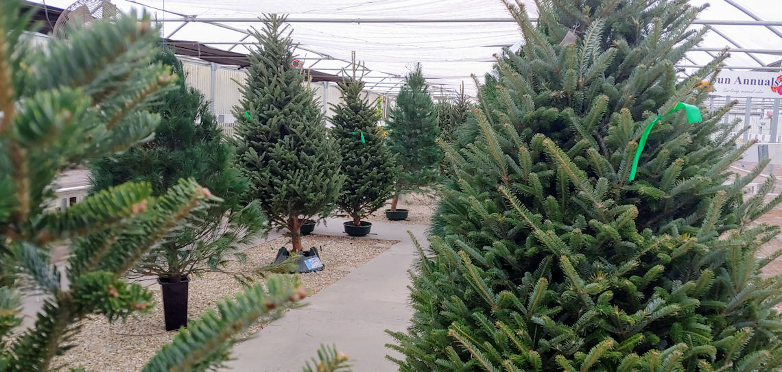 Christmas Trees in the Greenhouse